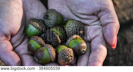 Female Hand Holding Acorns. Autumn Concept. Harvesting. An Acorn Of Holm Oak Tree In The Hand.
