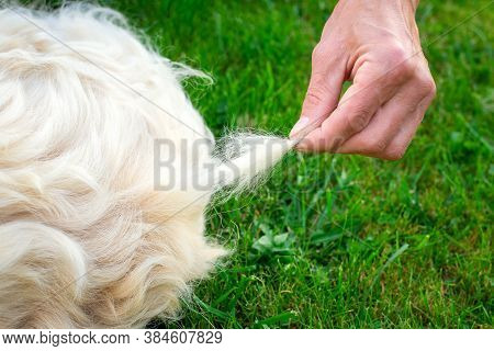 Close-up Of A Tuft Of Golden Retriever Fur That A Man Pulls Out. The Concept Of The Annual Autumn An