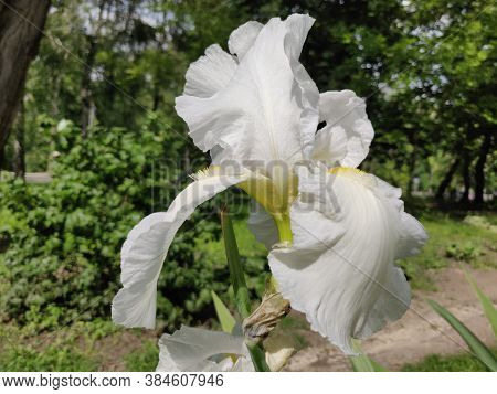 Close-up Of A Beautiful Iris Flowers In Early Summer