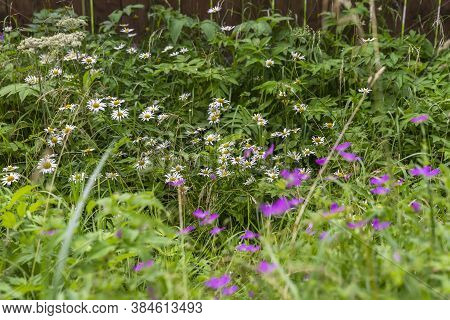 Summer Floral Landscape, Dense Thickets Of Wild Herbs And Flowers