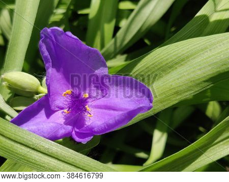 Perennial Garden Flower Tradescantia, Flowering In Spring