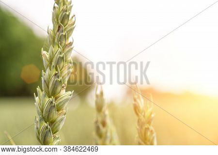 Wheat Landscape. Rye Plant Green Grain Field In Agriculture Farm Harvest. Golden Crop Cereal Bread B