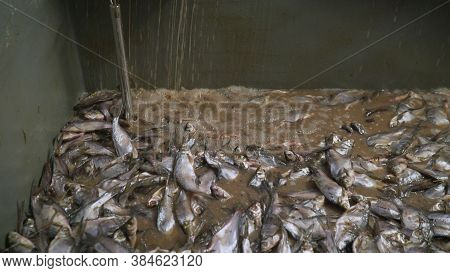 Fresh Fish In The Bathroom At The Fish Processing Plant. Fresh Fish At The Fish Processing Plant. Fi