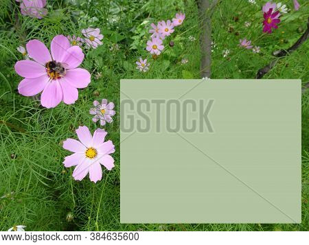 Cosmos Bipinnatus, Bright Pink Flowers, Mexican Astra And Bumblebee, Selective Focus, Copy Space