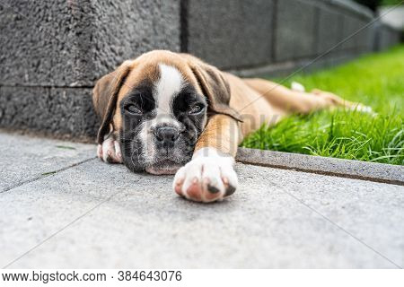 8 Weeks Young Purebred Golden Puppy German Boxer Dog Sleeping In Green Gras