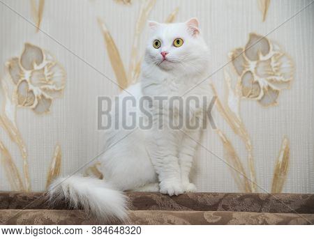 White Cat With Yellow Eyes. On The Back Of The Sofa Sits A White Fluffy Beautiful Cat. Thoroughbred
