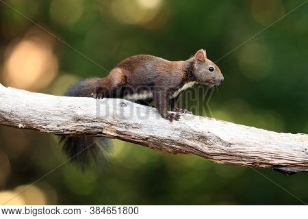 The Red Squirrel Or Eurasian Red Squirrel (sciurus Vulgaris) On The Branch. Squirrel In The Woods On