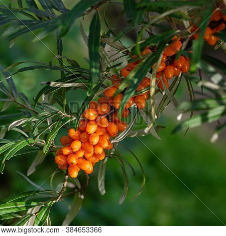 Buckthorn Berries On The Branch Of Sea-buckthorn Tree. Photo Closeup. Selective Focus. Square Crop.