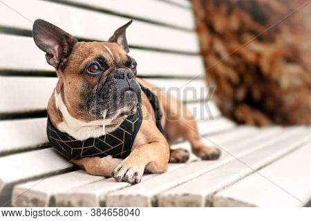 Drooling Brown French Bulldog Dog Lying Down And Relaxing On A White Park Bench