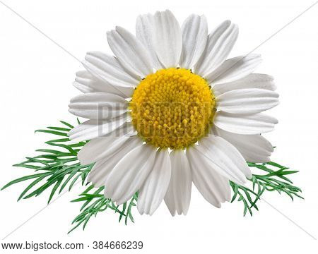 Chamomile flower with chamomile leaves isolated on a white background. File contains clipping path.