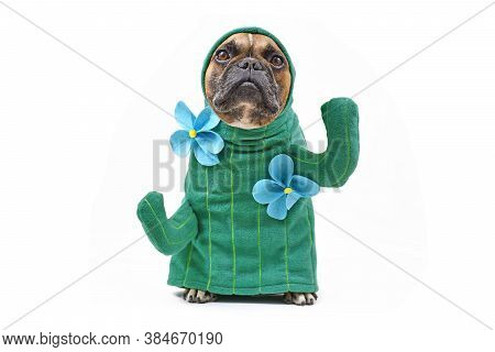 Hilarious French Bulldog Dog In Funny Cactus Costume With Arms Like Branches And Flowers Isolated On