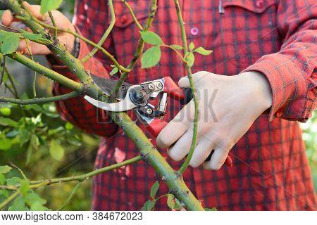 Gardener Prune Climbing Rose Bush. Rose Pruning: Climbing Roses.