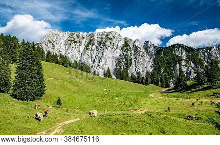 Herd Of Cows Grazing On Alpine Meadow In Summer. Steep Slopes, Huge Limestone Walls, Panoramic Peaks