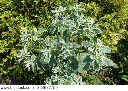 Florescence Of Variegated Spurge In Mid August