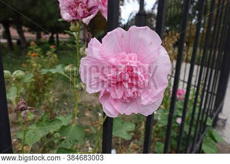 One Double Pink Flower Of Hollyhock In September
