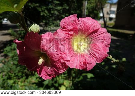 Pair Of Cerise Red Flowers Of Common Hollyhock In August