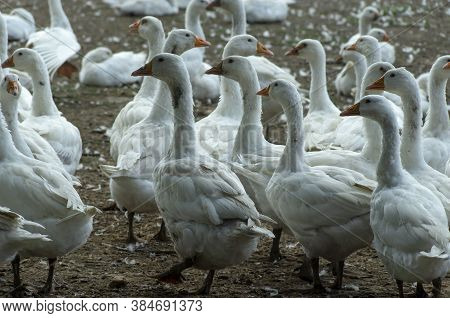 A Free-range Duck Farm With A Flock Of Birds. Domestic Ducks, Geese And Drakes Walk Around The Farm.