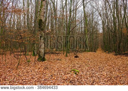 Leafless Beech Trees In The Forest. Moss On The Tree Trunk. Beautiful Autumn Scenery In November