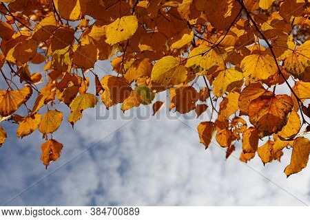 Close Up Yellow Autumn Linden Lime Tree Leaves Over Blue Sky, Low Angle View