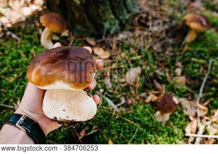 White Mushroom In The Hands Of A Man. Mushrooms Picker. Mushroomer Gathering. Boletus Edulis. Edible