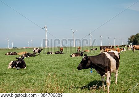 Dutch Brown And White Cows Mixed With Black And White Cows In The Green Meadow Grassland, Urk Nether