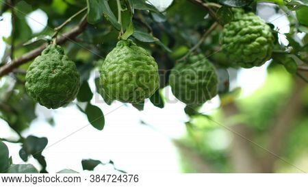 Fresh Kaffir Limeon The Tree. Can Be Used For Thai Food Cooking