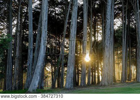 Sun beaming through Monterey Cypress Trees. Presidio of San Francisco, San Francisco, California.