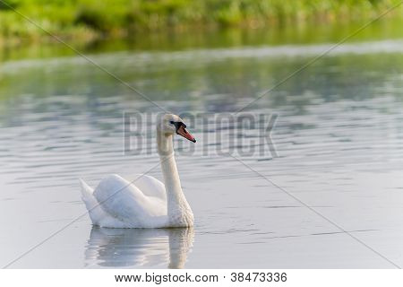 One Swan Swimming