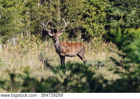Beautiful Red Deer Stag During The Rut.