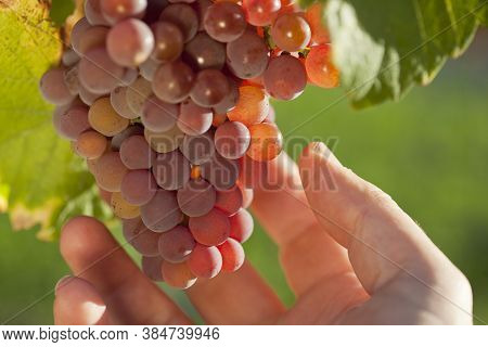 Hand Of Winemaker Controlling The Grapes In A Vineyard - Selective Focus