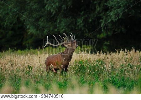 Red Deer Stag Roaring During Rutting Season In Autumn.