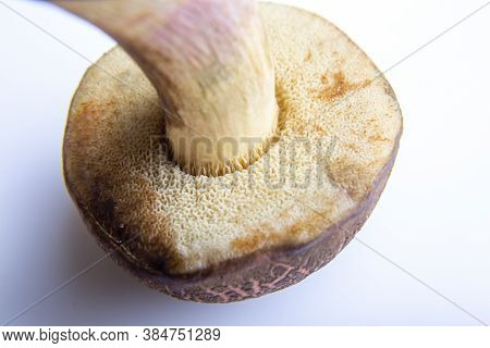 Mushroom Suillus Bovinus Jersey Cow Bovine Bolete On A White Background. Bottom Part, Pore Surface C