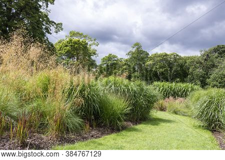 Plant Or Common Reed, In The City Park. A Perennial Wetland Grass In The Family Poaceae. Ornamental