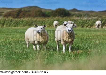 Two White Texel Sheep, A Heavily Muscled Breed Of Domestic Sheep From The Texel Island In The Nether