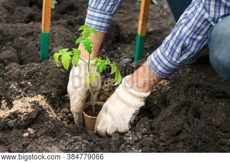 The Farmer Grows Tomato Seedlings. Young Fresh Tomato Seedlings. Growing Vegetables. Planting In The