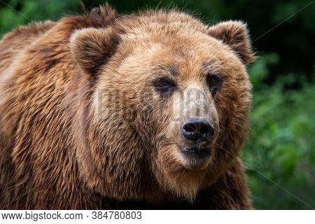 Kamchatka Brown Bear (ursus Arctos Beringianus). Brown Fur Coat, Danger And Aggresive Animal. Big Ma