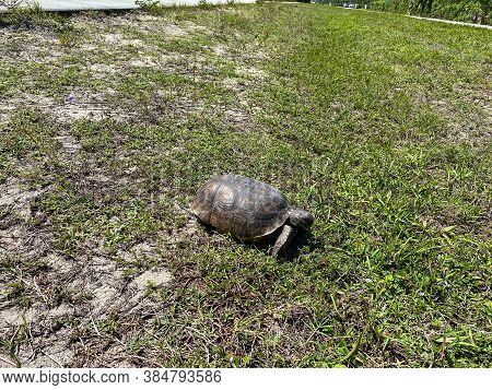 A Gopher Tortoise Walking On A Grassy Area In Florida.
