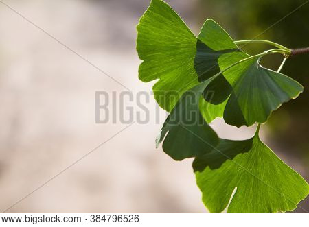 Ginkgo Biloba Tree (ginkgo Biloba), Or Ginkgo Biloba With Bright Leaf. Selective Closeup. Fresh Wall