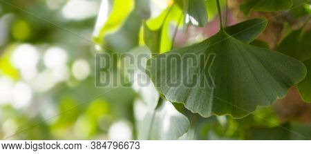 Outdoor Ginkgo Biloba Leaves, Copy Speace - Banner.