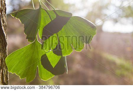 Gingko Biloba Tree Leaves Close Up, Copy Speace.