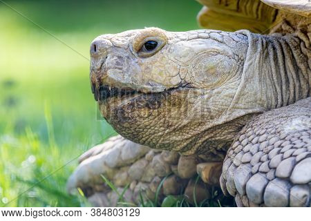 The African Spurred Tortoise (centrochelys Sulcata), Also Called The Sulcata Tortoise