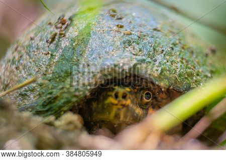 A Creepy View Of A Stinkpot Or Common Musk Turtle (sternotherus Odoratus) With A Single Eye Visible