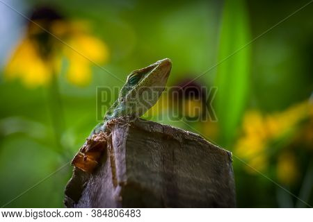 Carolina Anole Or Green Anole On A Wooden Stake. Raleigh, North Carolina.