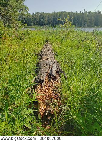 Rotting Tree Trunk Log In The Grass On The Hickey Lake Hiking Trail In Duck Mountain Provincial Park