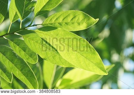 Fresh Green Annona Squamosa Leaves In Nature Garden