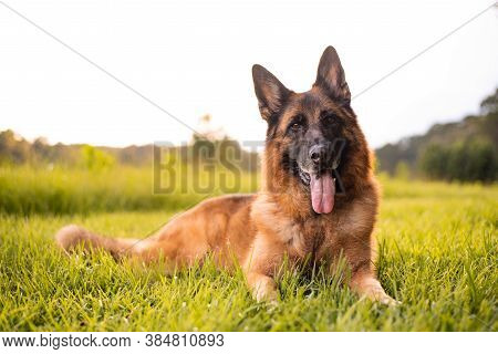 German Shepherd Dog Lying On Grass, Red And Black