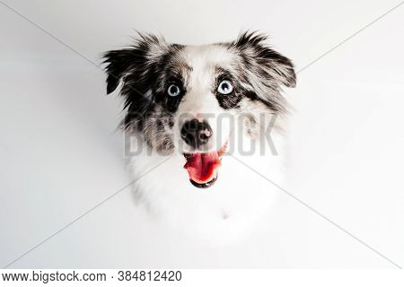 Australian Shepherd. Mini Grey And White Aussie With Blue Eyes Portrait