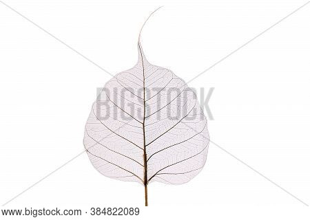 Fragile Dried Skeleton Leaf Isolated On White Background
