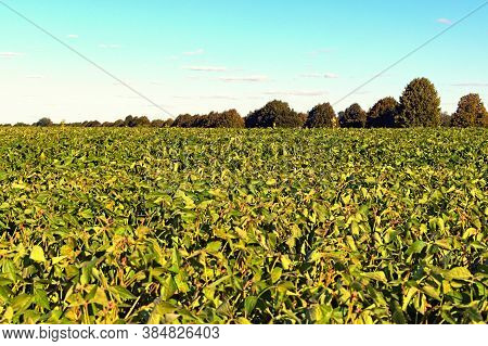 Agricultural Soy Plantation. Green Growing Soybeans Plant Against Blue Sky. Green Ripening Soybean F