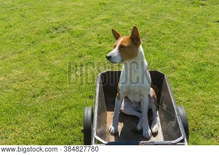 Young Basenji Dog Sitting In Metal Basket Of Wheel Barrow And Waiting When Master Would Drive This C